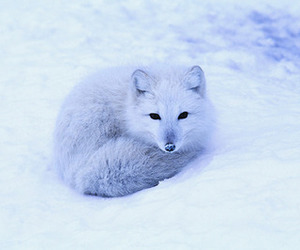 fox, snow, and photography image