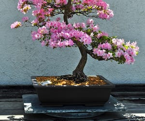 bonsai, flowers, and tree image