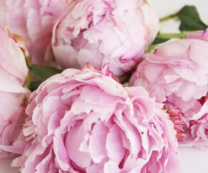 background, peony, and pink rose image