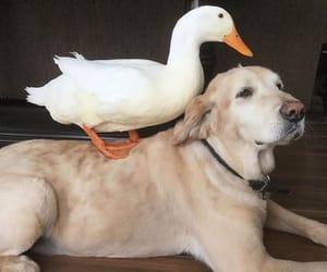 animal, dog, and duck image