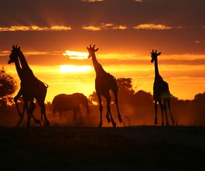 giraffe, animal, and africa image