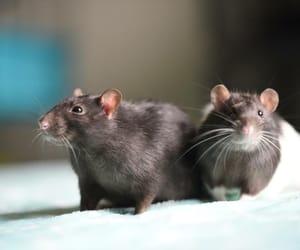 rats and shooting image