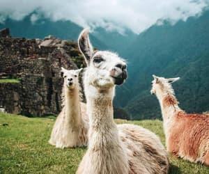 lama, machu picchu, and places image