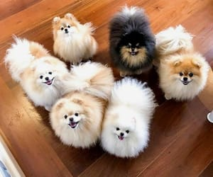 dogs, puppies, and pomeranians image