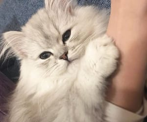 cutie, white cat, and fluffy cat image