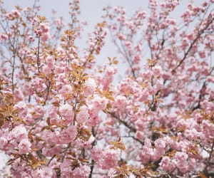 cherry blossoms, cherryblossom, and flowers image