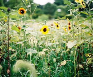 nature, photography, and sunflower image