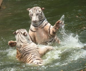 white tigers, hot day, and beat the heat image