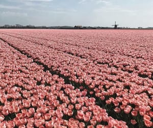 flowers, holland, and pink image