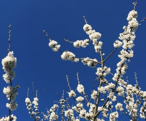 blue, blue sky, and cherries image