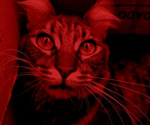 animal, red, and cat image