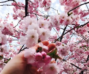cherry, flower, and pink image