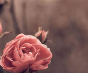 wallpaper and rose image
