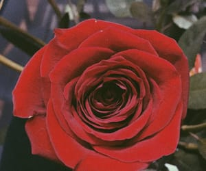 aesthetic, roses, and red image