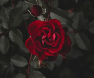 beautiful, flowers, and rose image