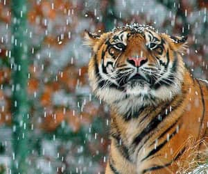 animals, snow, and wild cats image