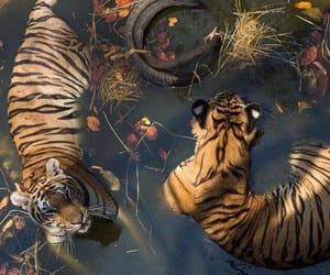 animal, theme, and tigers image