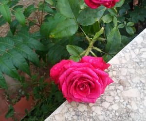 beautiful roses image