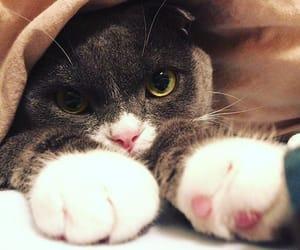 cat, kitty, and tuxedo cat image