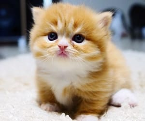 cute cat, munchkin, and cute kitty image