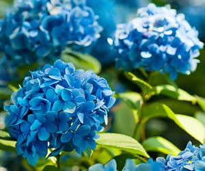 blue, flowers, and hydrangeas image