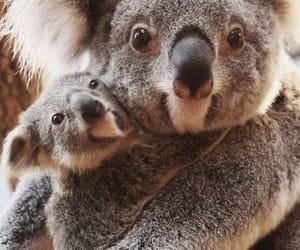 animal, Koala, and happy image