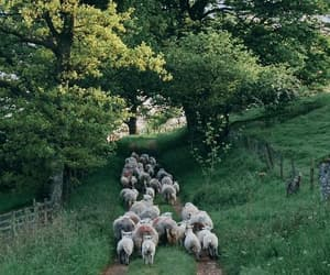 nature and sheep image