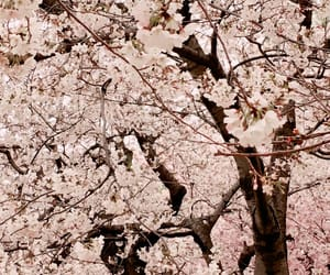 aesthetic, cherry blossom, and cherry blossoms image
