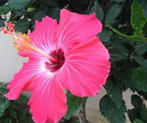 flores, hibiscus, and plantas image