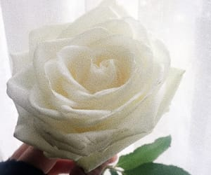 rose, white, and withering image