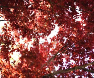 maple, photography, and nature image