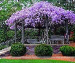 gazebo, wisteria, and purple image