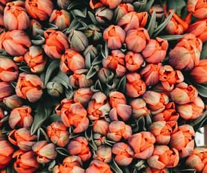 tulipanes, fondos, and wallpaper image