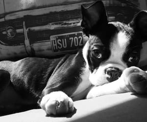 black and white, boston terrier, and dogs image
