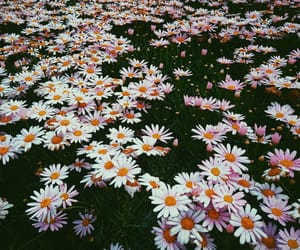 aesthetic, beautiful, and daisies image
