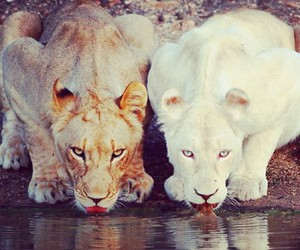 lion, animal, and white image