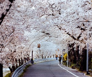 blossom, cherry, and kyoto image