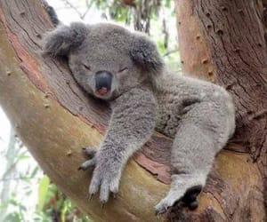 Animales, Koala, and lindo image