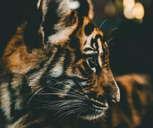 tiger, animals, and photography image
