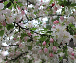 blossom, cherry, and flower image