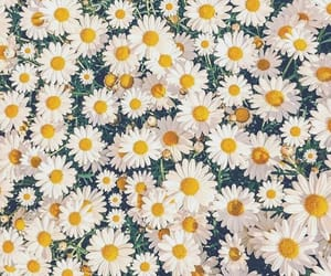 background, daisy, and nature image