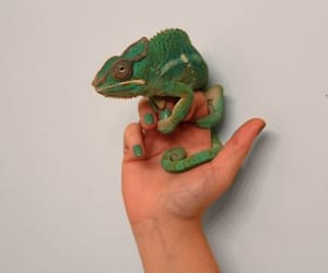 animal, chameleon, and green image