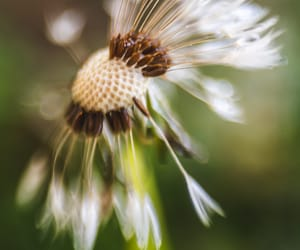 dandelion, fine art photography, and lensbaby image