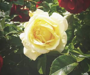 beauty, rose, and flowers image