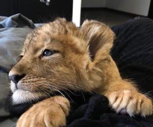animal, blue eyes, and tiger image