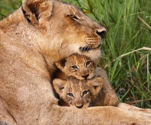 babies, lion, and nature image