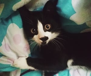 cats, meow, and tuxedo image