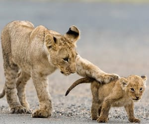 animals, lion cub, and lions image
