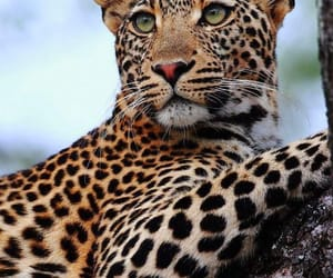 big cats, leopard, and wild animal image