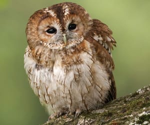 owl and tawny owl image